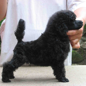 Miniature+poodle+haircuts